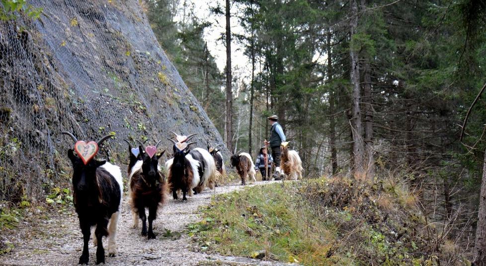 La transumanza della capre vallesane da Caralte a Valle di Cadore